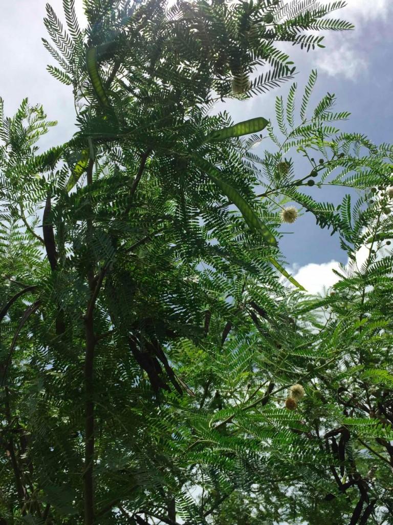 ギンネムの木