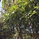 食べられる森を作りたい! 取り木による熱帯果樹の増殖についての講習に参加