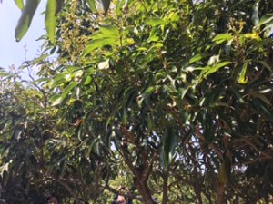 取り木による熱帯果樹の増殖についての講習に参加